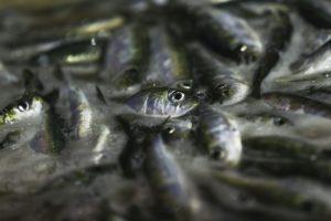 Pesca da sardinha deve ficar suspensa para o ano, 2018
