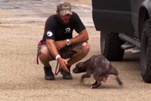 Pitbull abandonada pede ajuda para salvar os seus bebés [vídeo]