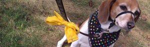 O que significa uma fita amarela na coleira ou na trela de um cão