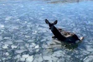 Pescadores resgatam veado bebé de lago congelado [vídeo]