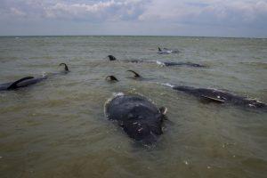 Pelo menos nove baleias-piloto morreram encalhadas na Nova Zelândia