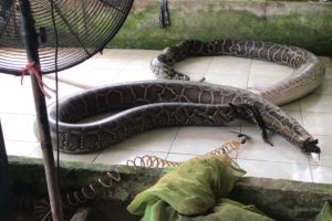 Cobras insufladas até à morte para artigos de luxo [imagens fortes]