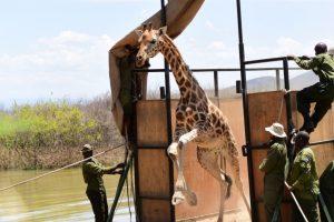 Girafa e cria salvas de ilha que está a afundar-se no Quénia [fotos]