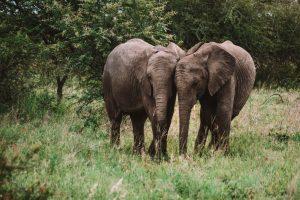 Caçadores ilegais atacados e mortos na África do Sul por elefantes