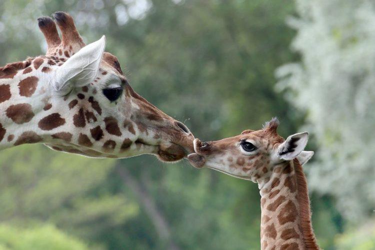 Girafas estão a desaparecer e vulneráveis a extinçao, alerta organismo ambientalista