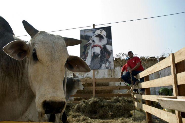 Repovoar planalto angolano com 10.500 animais corta 328 MEuro em importação de carne