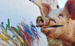 Pigcasso: Conheça a porca que pinta quadros no valor de mil euros