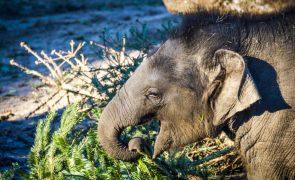 Elefantes em Angola precisam de