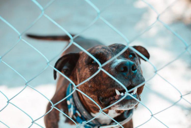 Há cerca de 20 mil cães perigosos registados em Portugal. Só 300 donos têm formação obrigatória
