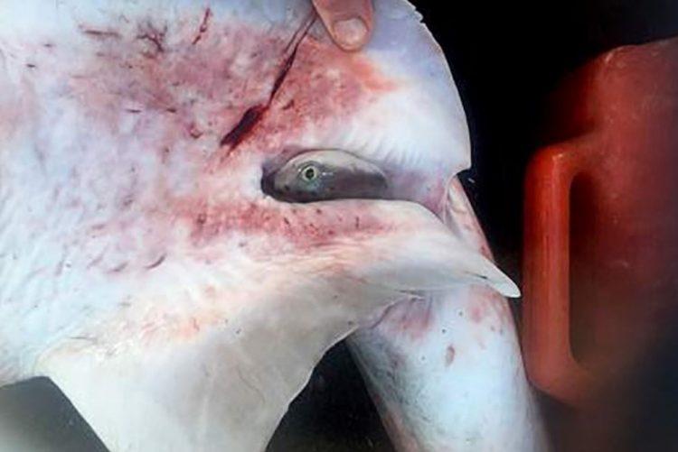 Pescador faz cesariana a tubarão e salva 98 crias [vídeo]