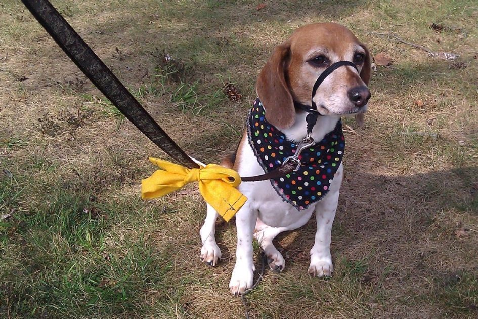 O que significa uma fita amarela na coleira ou na trela de um cão?