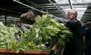 Agora sim! Parlamento aprova uso de canábis para fins medicinais