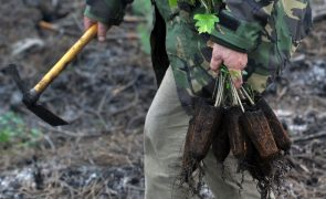 ICNF e sociedade civil já plantaram 640 mil árvores no Pinhal de Leiria