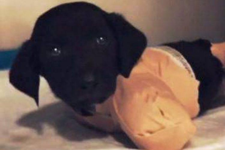 Cortaram patas e cauda a cão de 2 meses e deixaram-no para morrer [vídeo]