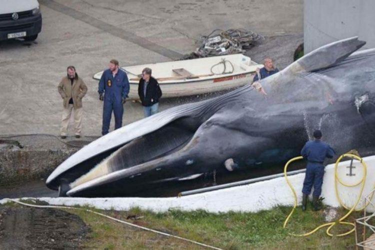 Islândia acaba de matar baleia em vias de extinção