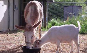 Cabra separada de um burro deixa de comer por saudades [vídeo]