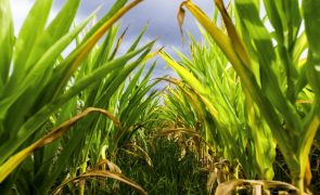 Governo moçambicano aprova 4,9 milhões de euros para pesquisa de cultivo de milho