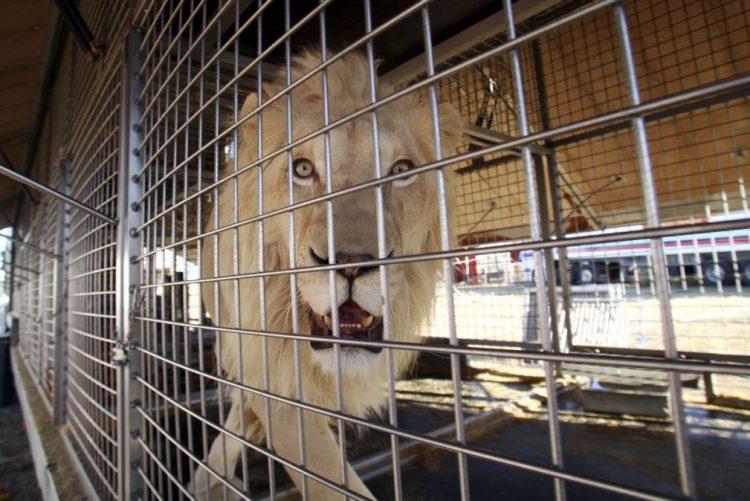 Ativistas alertam para maus-tratos animais, circo diz que os trata com festinhas