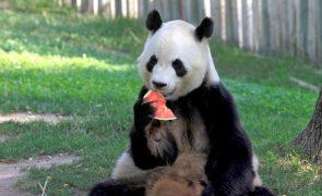 China vai abrir parque para pandas com quase um quinto da dimensão de Portugal