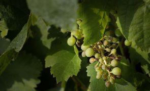 Produtores de uva de Setúbal vão pedir ajuda ao governo devido a quebra de produção