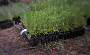 Marinha Grande já plantou cerca de 40 mil árvores no Pinhal de Leiria