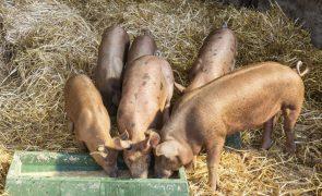 China deteta sexto surto de peste suína desde agosto