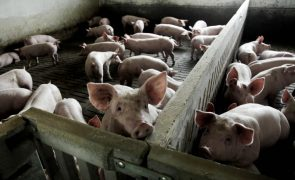 Portugal quer ser autossuficiente em carne de porco até 2030
