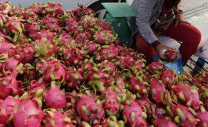 Agricultores timorenses participam em formação sobre cultivo da pitaia (fruta dragão)