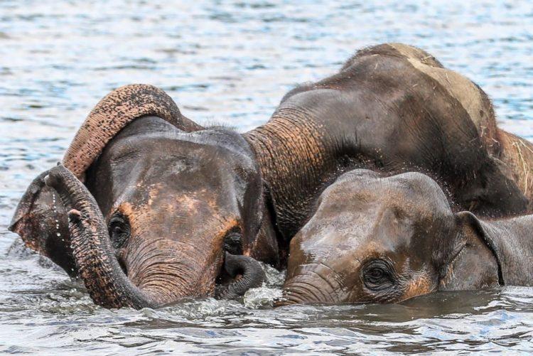 Botsuana vai dar 500 elefantes a Moçambique