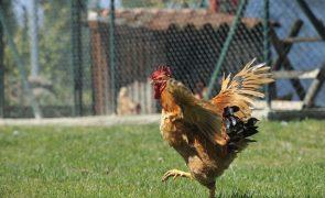Zero oferece galinha ao Governo para reciclar resíduos orgânicos na origem