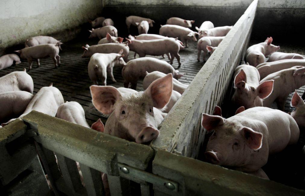 Mulher cai em pocilga e é comida viva pelos porcos
