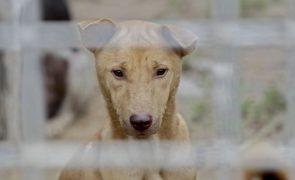 Três cães vítimas de maus-tratos resgatados em Viseu. Mulher constituída arguida