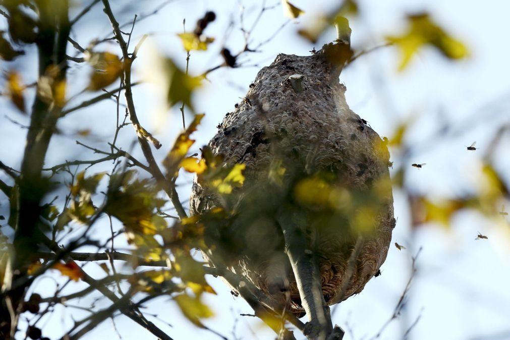 Município de Oleiros combate ninhos de vespa asiática