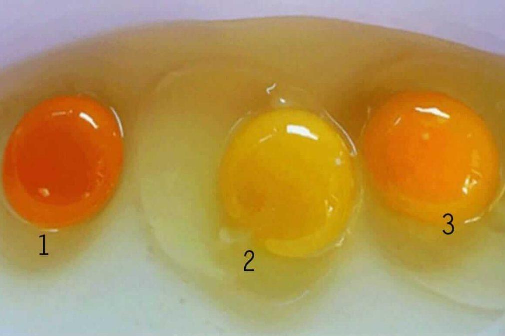 O que diz a cor da gema do ovo sobre a saúde da galinha