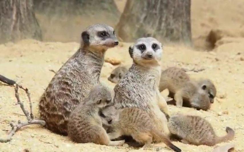 Jardim Zoológico de Lisboa Conheça as novas crias de Suricata (vídeo)