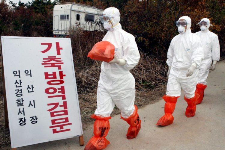 Coreia do Sul abate mais de 25 milhões de aves devido a gripe aviária