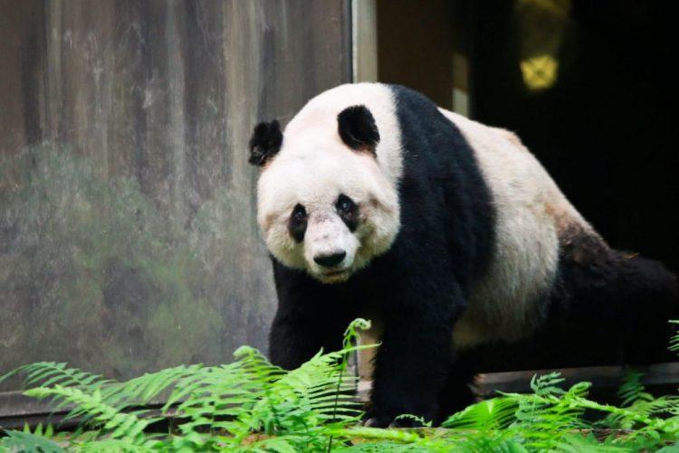Panda mais velho do mundo morre aos 31 anos na China