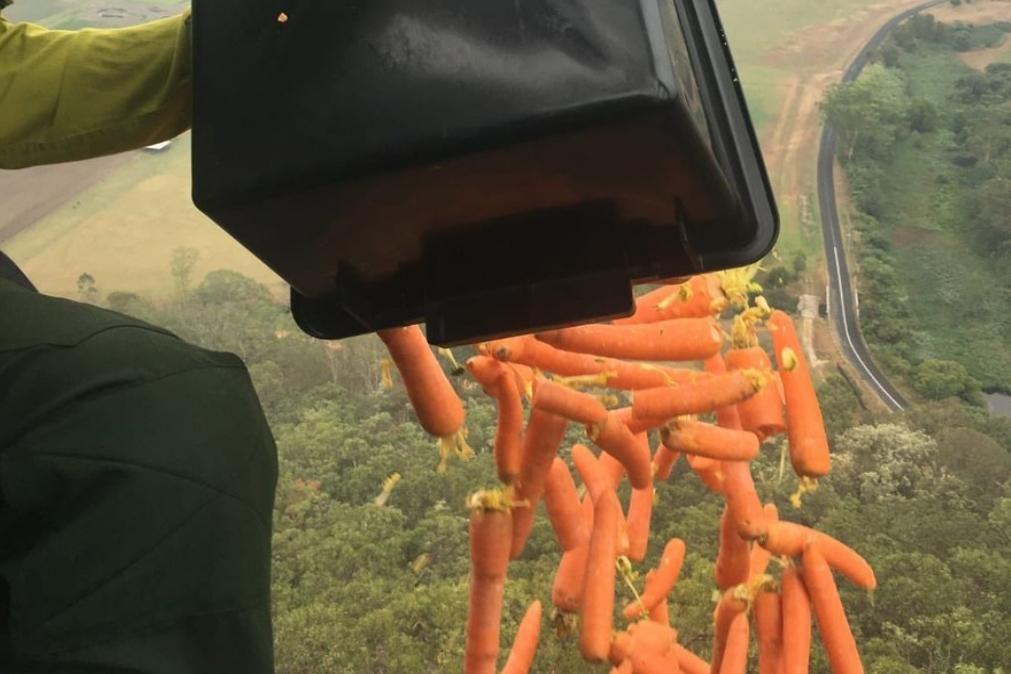 Austrália. Helicópteros lançam quilos de cenouras e batatas para alimentar animais em zonas ardidas