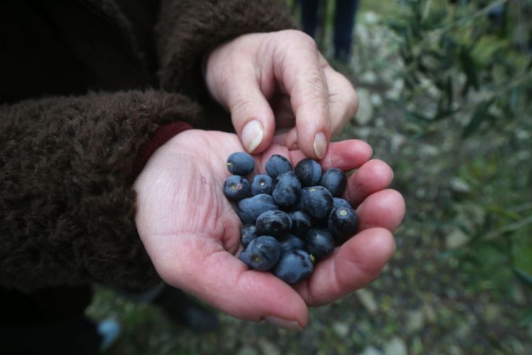 Catorze detidos e mais de uma tonelada de azeitona furtada em Évora - GNR