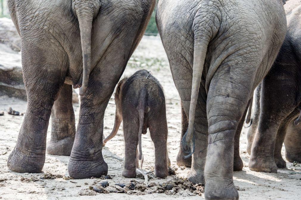 Seis elefantes mortos num só dia por caçadores furtivos na Etiópia
