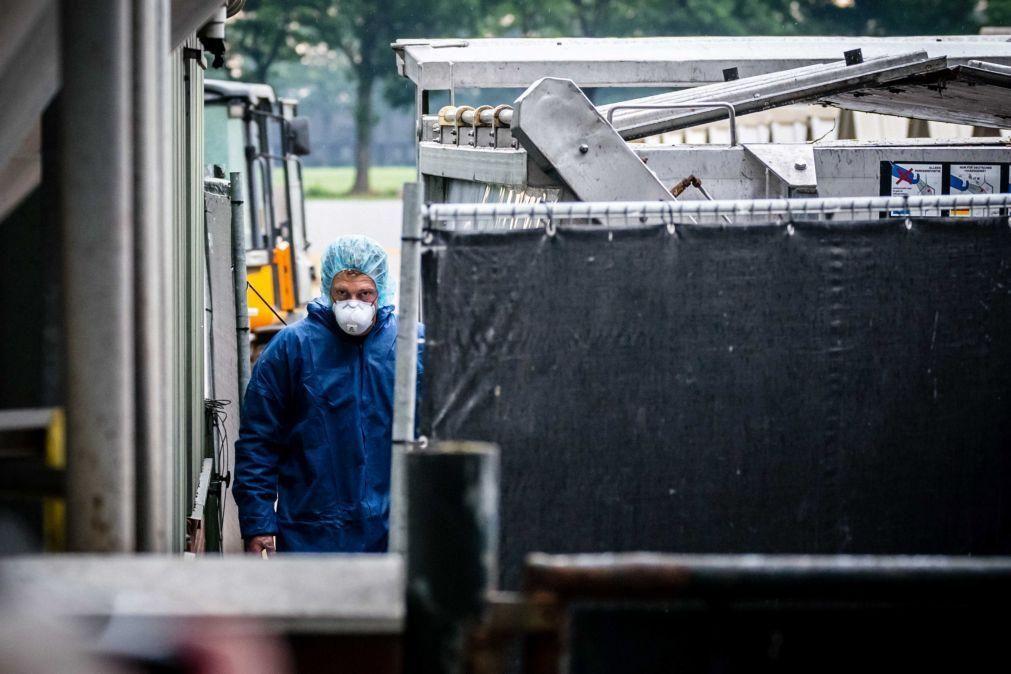 Covid-19: Países Baixos abatem milhares de martas