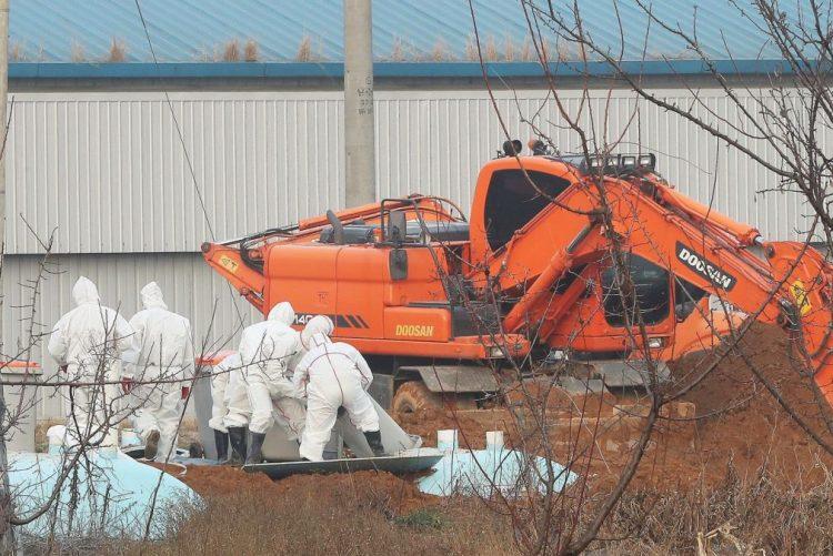 Abatidas mais de 30 milhões de aves na Coreia do Sul devido à gripe aviária em 50 dias