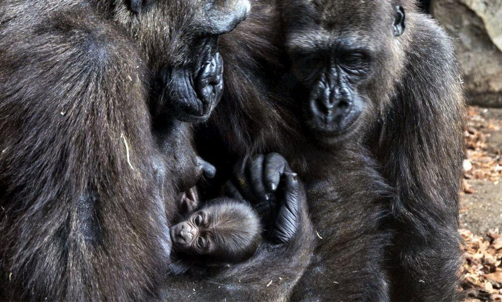 Apreendidos no Zimbabué 26 gorilas e chimpanzés vivos traficados da RDCongo