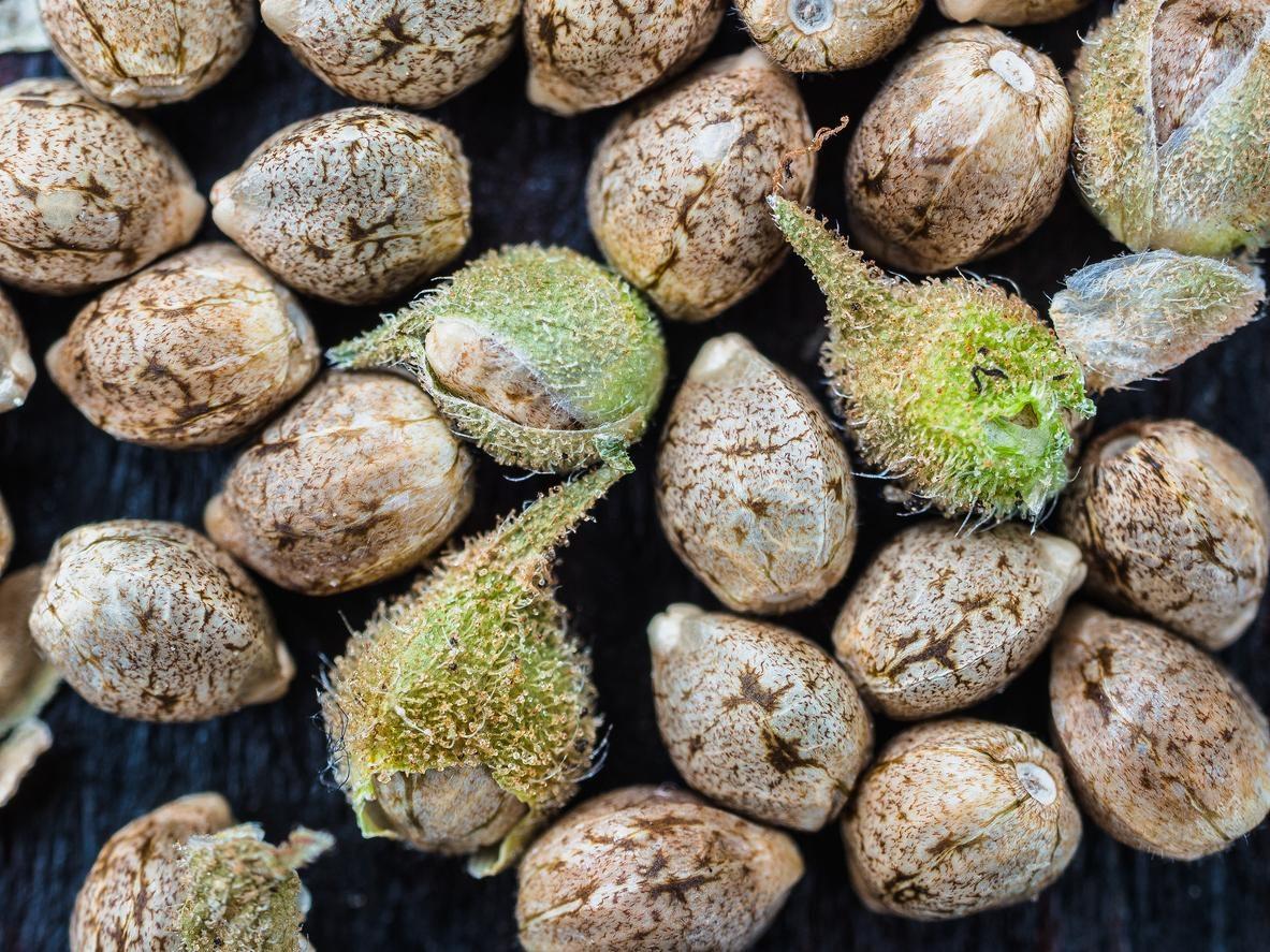 Os diferentes tipos de sementes de cannabis