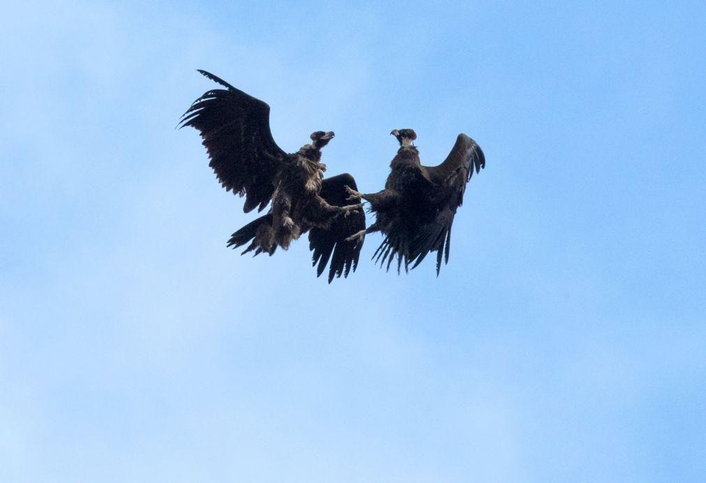 Investigadores confirmam envenenamento com inseticida de mais de 2.000 abutres na Guiné-Bissau