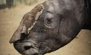 Polícia moçambicana deteve vietnamita com cornos de rinoceronte no aeroporto de Maputo