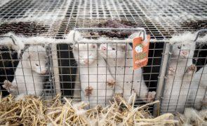 Cientistas apontam baixo risco à mutação do vírus em visons na Dinamarca