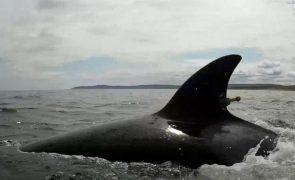 Orcas juvenis na origem de incidentes com embarcações em Portugal