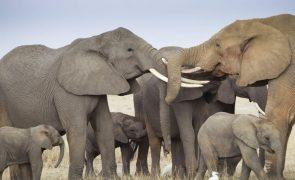 Namíbia põe 170 elefantes à venda por causa da seca