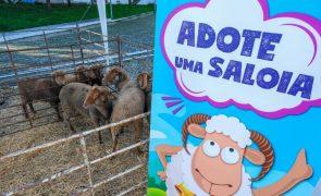 Palmela e criadores querem ajuda para preservar a ovelha saloia